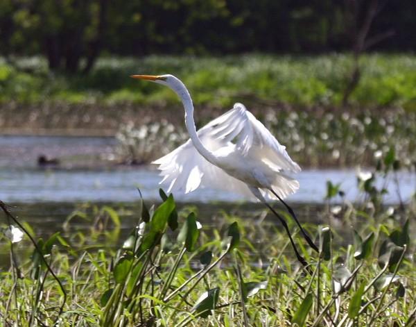 24 Great Egret a